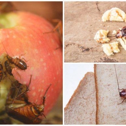 Що їдять таргани у квартирі