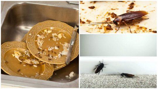 Скільки живуть домашні таргани: тривалість життя в деталях.