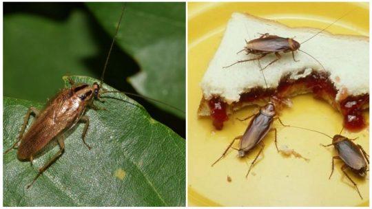 Чи є користь від тарганів у природі та вдома